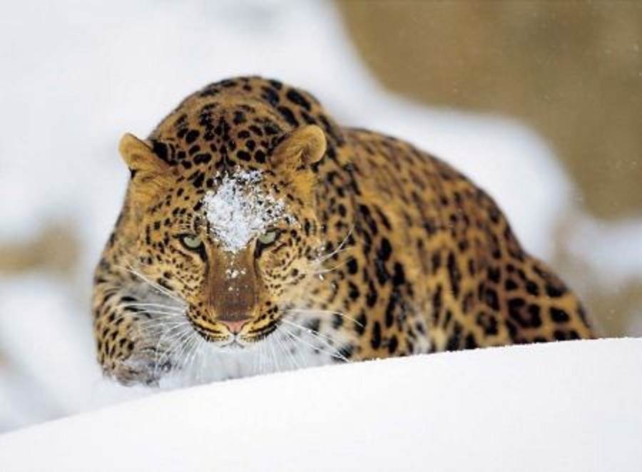 amur or the far eastern leopard world s As one of the world's most endangered species, the amur leopard was  than 70  amur leopards in the world, mostly living in russia's far east,.