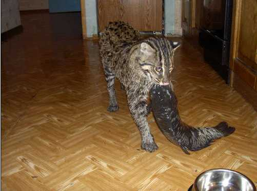 Russian Family Keeps Pet Fishing Cat Natural History