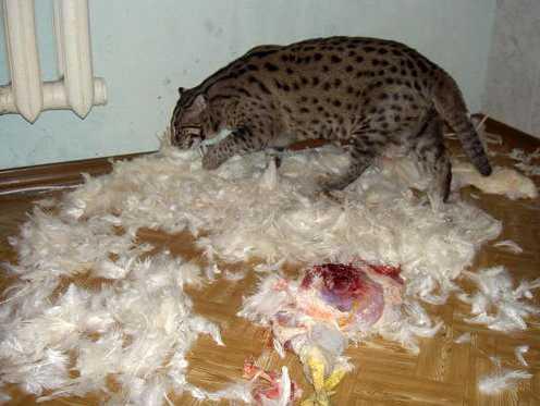 Russian Family Keeps Pet Fishing Cat Natural History