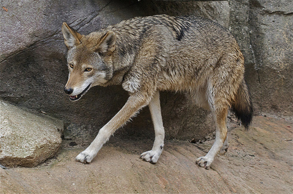 "Coyote or ""red wolf""? 