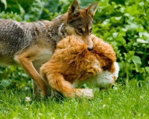 Texas Invasive Species Domestic Cat