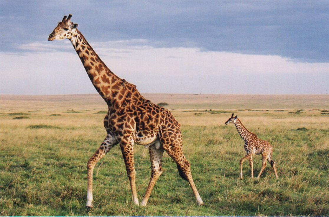 giraffe natural history