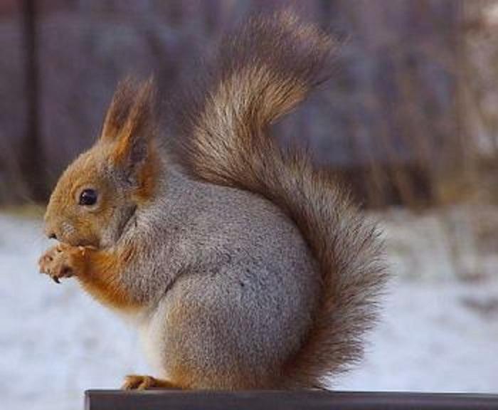 Eurasian red squirrel ... One Leg Leg Press
