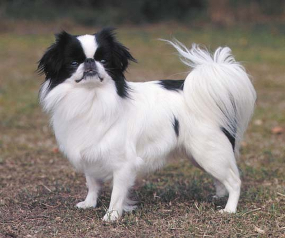 japanese chin | Natural History