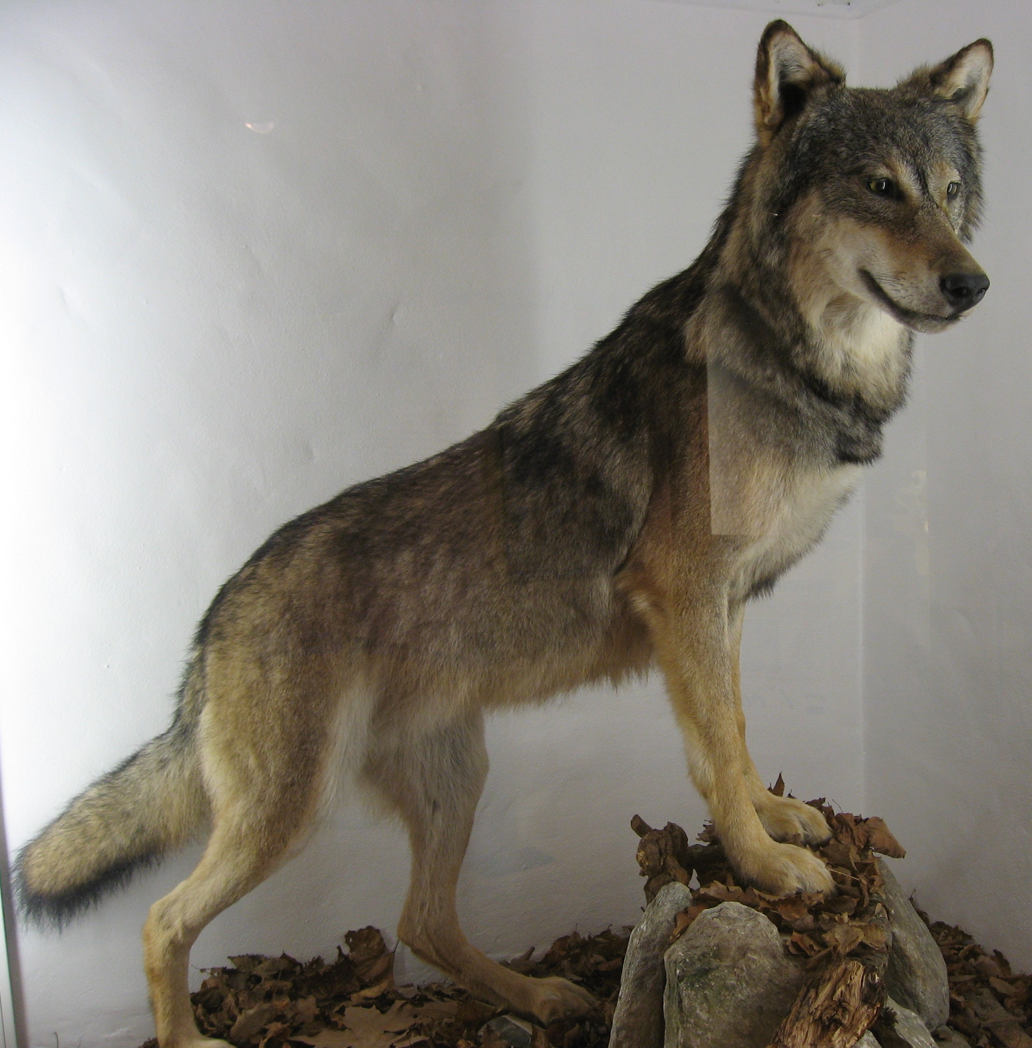 Red Wolf Canis Lupus Hominis