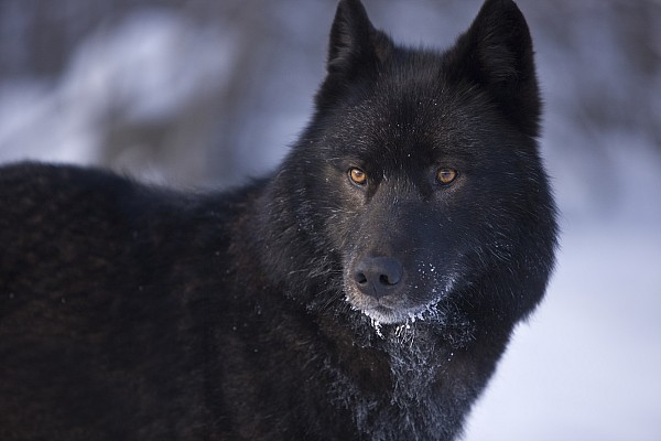 wolf in black and - photo #39
