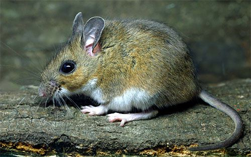White-footed Mouse | C...