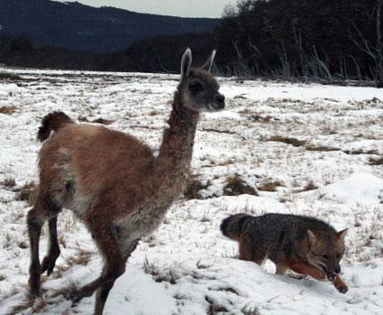 llama and coyote