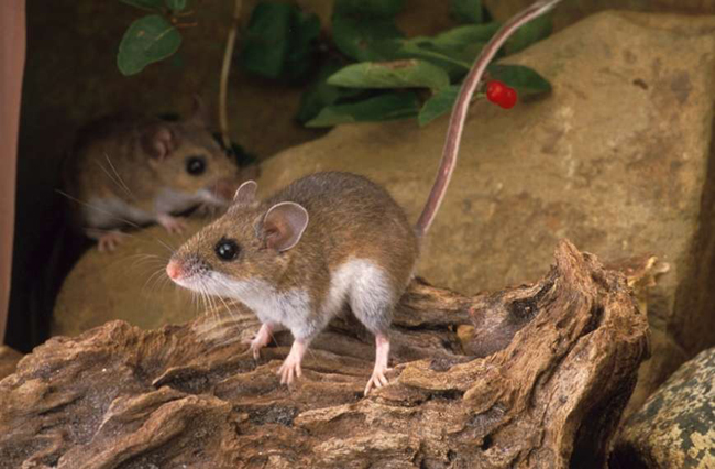deer mouse | Natural History