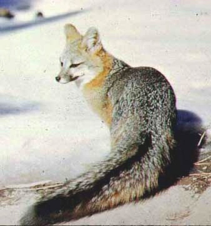 Difference Between A Kit Fox And A Gray Fox Natural History