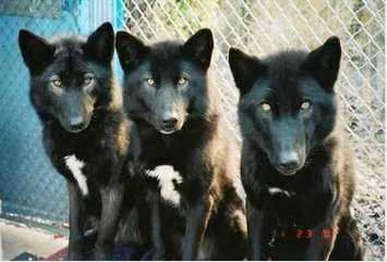 The Alaskan Noble Companion Dog | Natural History