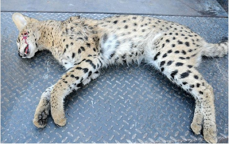 Serval or savannah cat discovered dead in Canton, Ohio