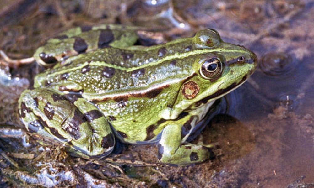 Pet frogs species - photo#4