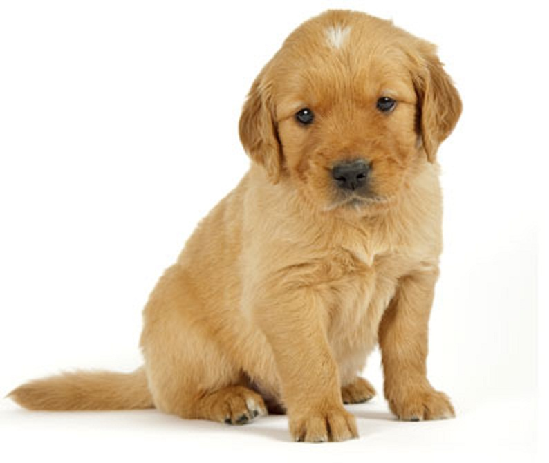 Golden Retriever Puppy With White Spot On Its Head Natural History