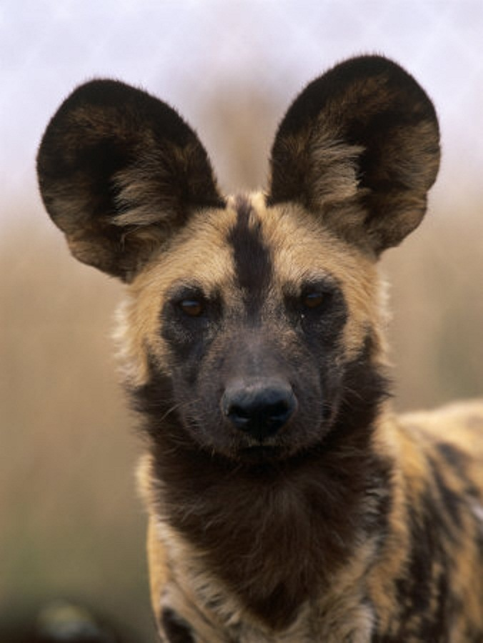 Can African Wild Dogs Breed With Domestic Dogs