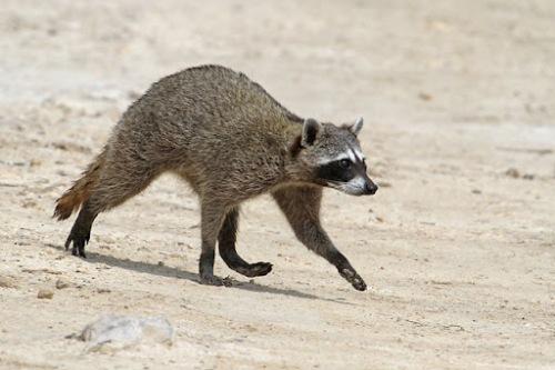 http://retrieverman.files.wordpress.com/2012/08/cozumel-raccoon.jpg?w=500&h=333