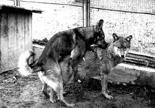 domestic dog mating with a wolf. Wolf mating season would have been ...