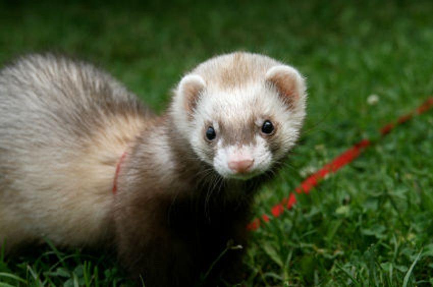 ferret | Natural History