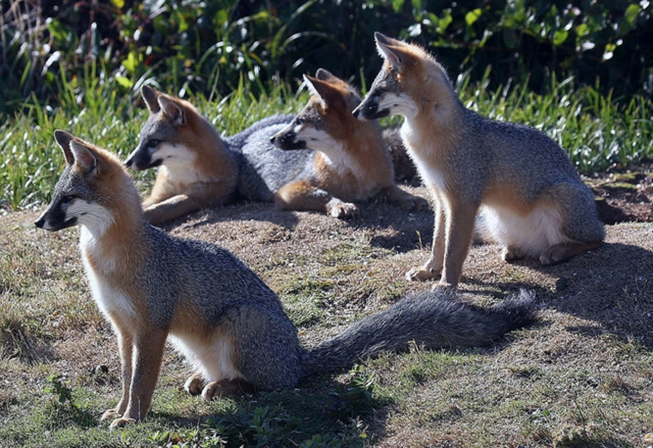 What's the real story of foxes in the East?   Natural History