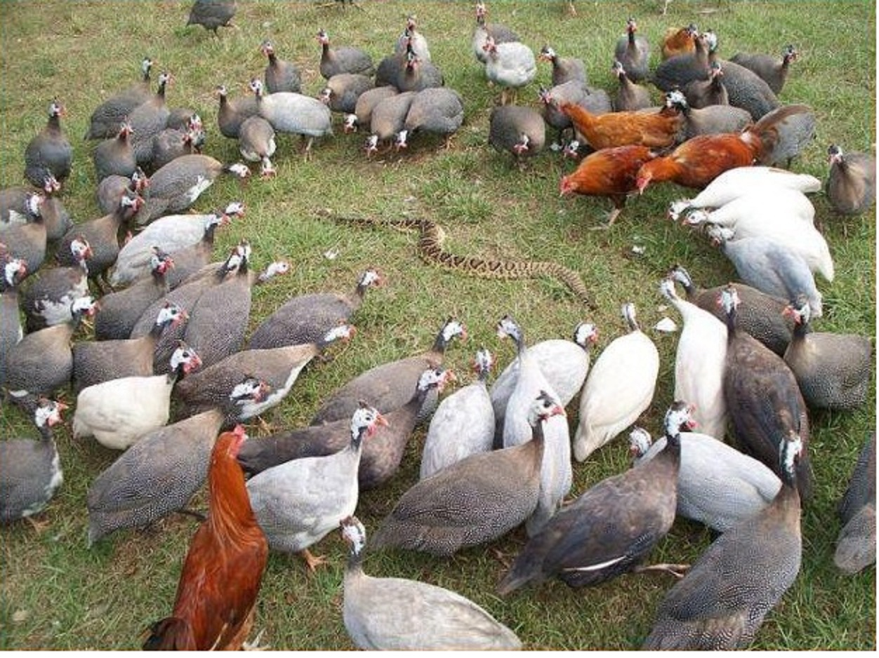 Geese Natural History