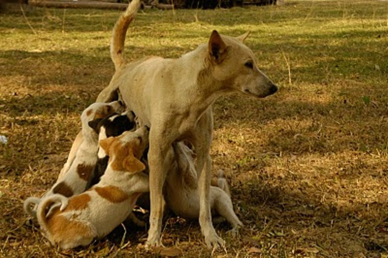 combai / indian bear hound dog / kombai   combai   pinterest