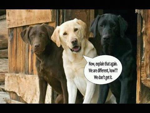 Different types of labrador retriever