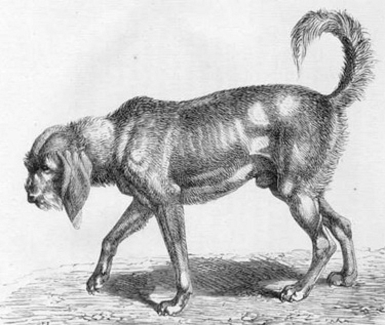 Chien gris de St. Louis. A type of large French griffon hound from the ...