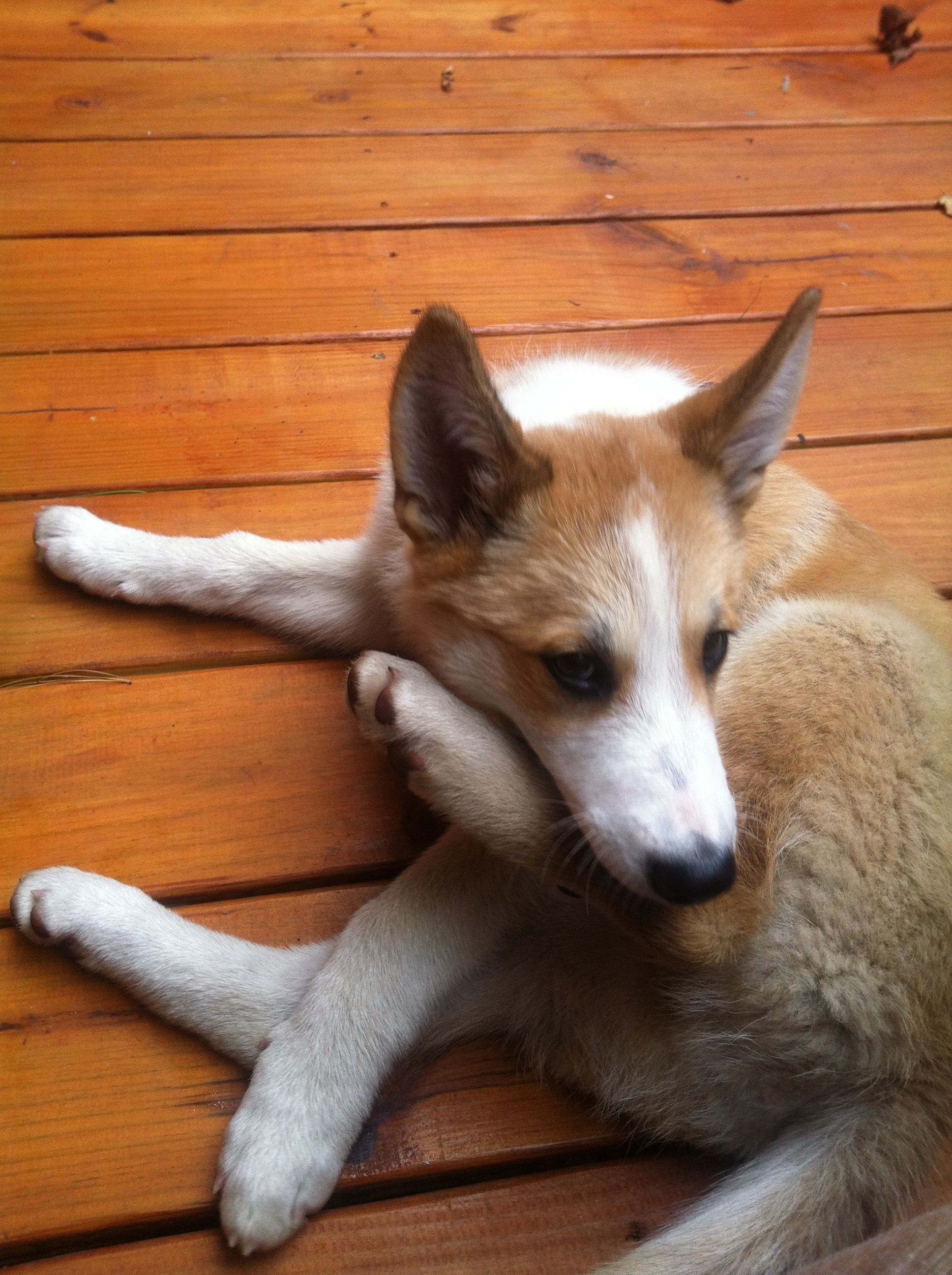 1000+ images about West Siberian Laika on Pinterest ...