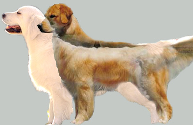 Bilderesultat for golden retriever show vs field