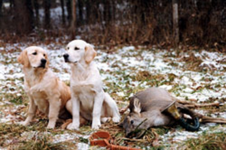 Big game hunting with golden retrievers | Natural History