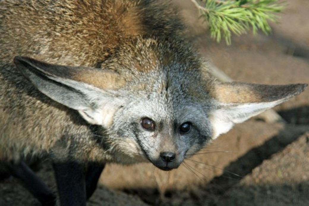Bat eared fox - photo#26