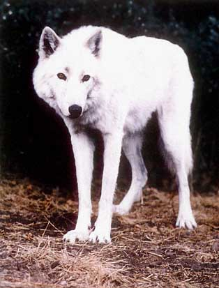 The facility that bred it White Wolf Hybrid With Blue Eyes