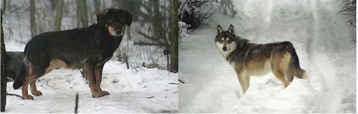 Can You Tell A Wolf Hybrid By Looking At It Natural History