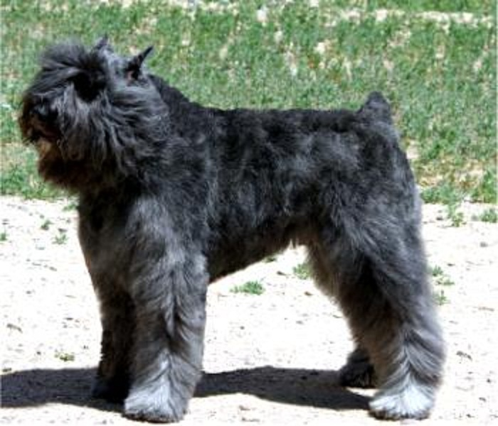 Type ergence in the bouvier des flandres natural history
