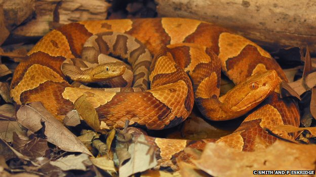 Facultative Parthenogenesis Discovered In Wild Copperheads -3783