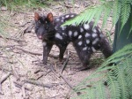 black eastern quoll
