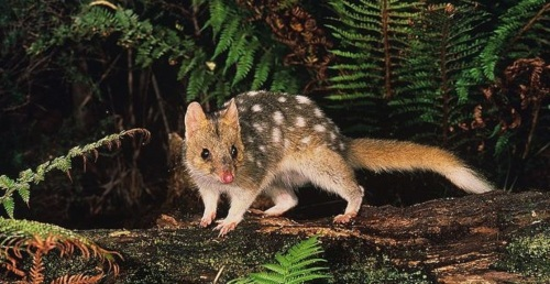 fawn eastern quoll