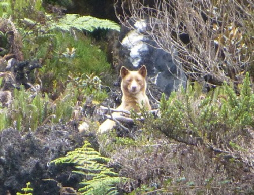 New guinea singing dog in the wild