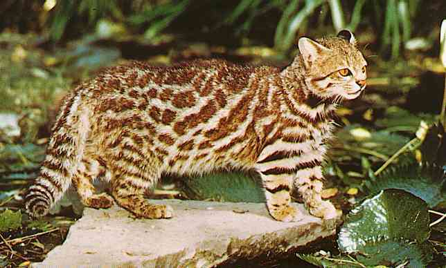 Animal Tracks  Domestic Cat Felis catus formerly Felis