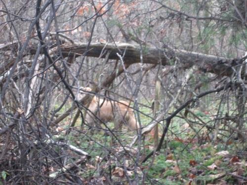 thylacine sighting