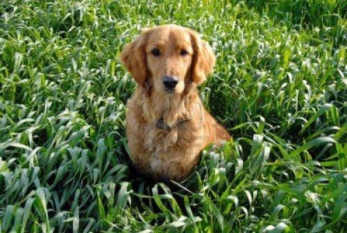 golden retriever in a wheatfield