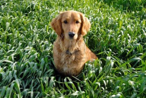 golden retriever in a wheatfield