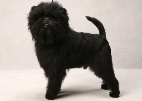affenpinscher banana joe