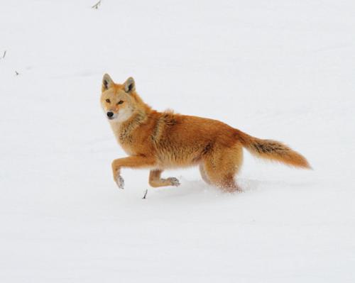 golden coyote