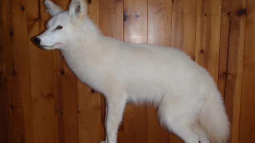 A taxidermy of a white coyote from Newfoundland.