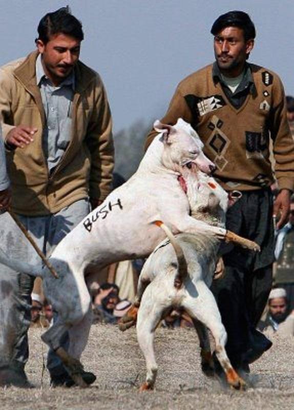 Пакистанский бультерьер (гультерьер, или гультер) - Страница 10 Bush-fighting-dog