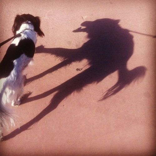 dog with wolf shadow