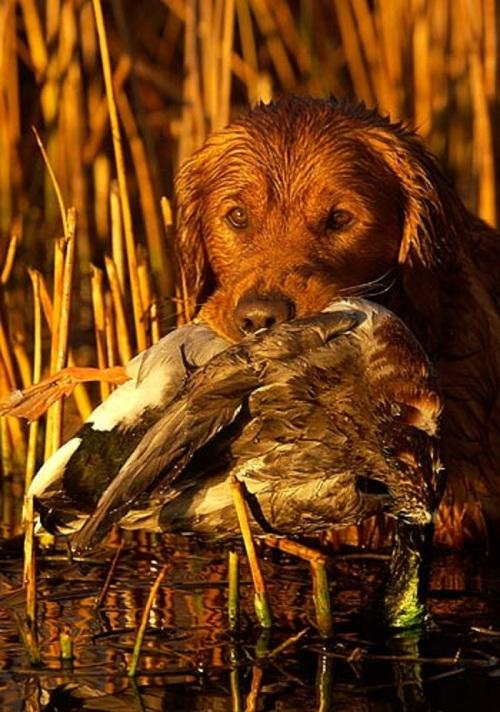 Duck killer