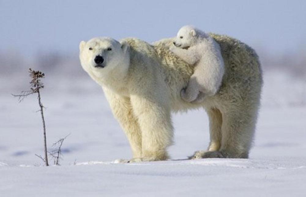 الدب القطبي . صورة للدب القطبي )-_-_-_-_-_-