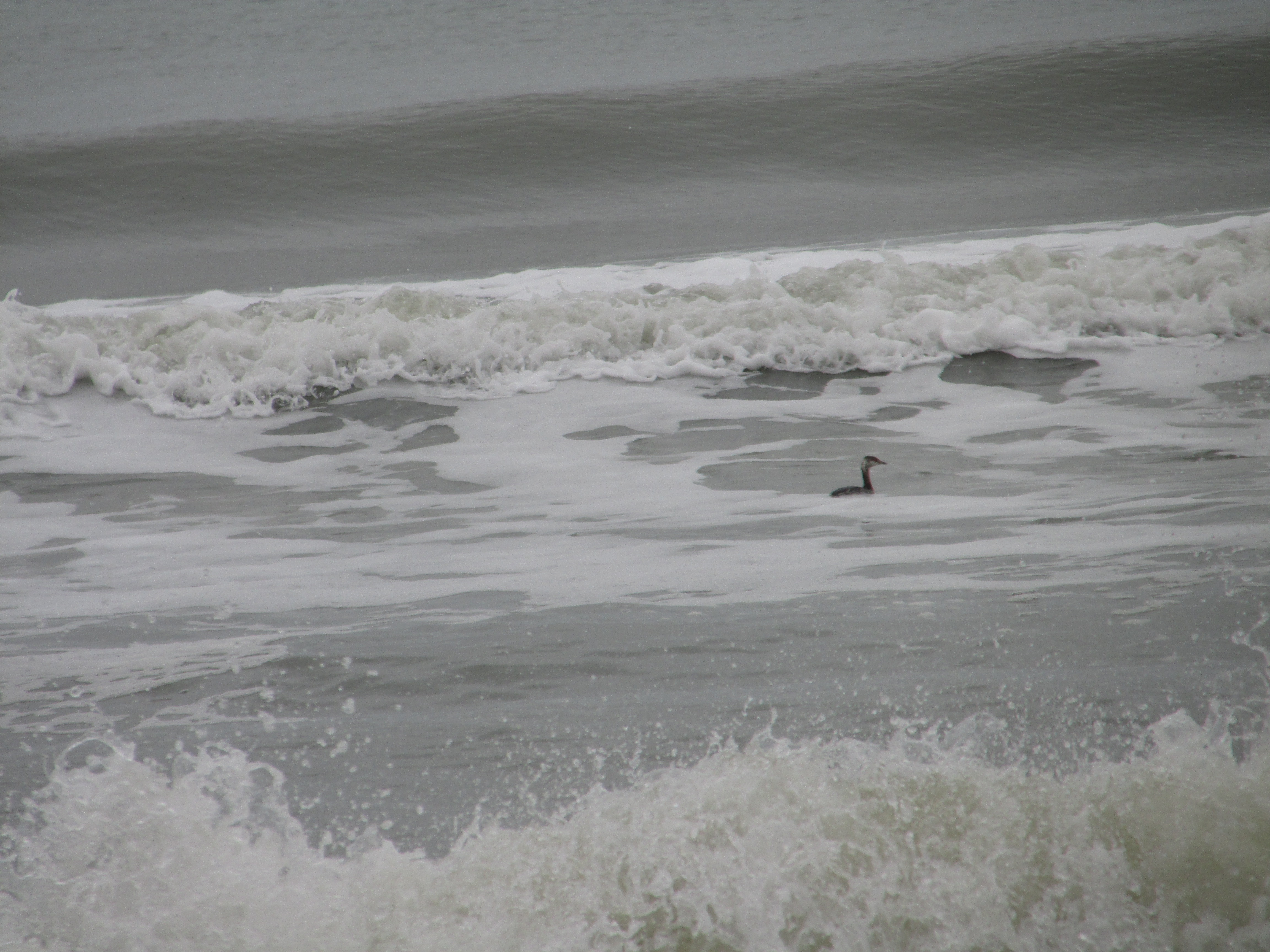 It's actually a horned grebe ( Podiceps auritu s) in the surf.